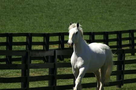 A white horse trotting in a paddock