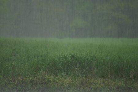 A shot of a wheat field on a rainy day.
