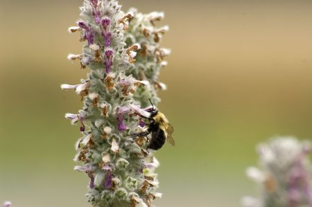 An image of a bee collecting pollen from a lambbs ear flower.