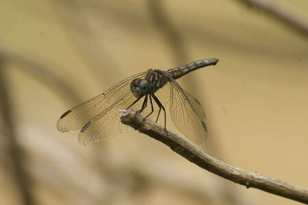 An image of a dragonfly resting on a branch Stock Photo
