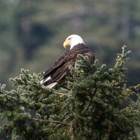 deception: Bald Eagle from Deception Pass State Park in Washington Stock Photo