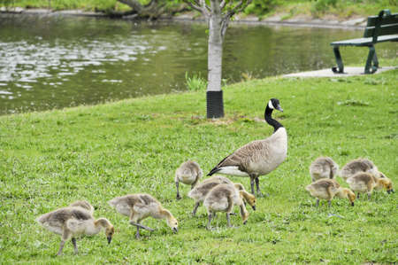 A Canada goose with her goslings walking along the Charles River bank in Boston, Massachusetts  Stock fotó
