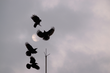 four crows squabbling over a lighting rod perch against a cloudy grey sky background Stock Photo