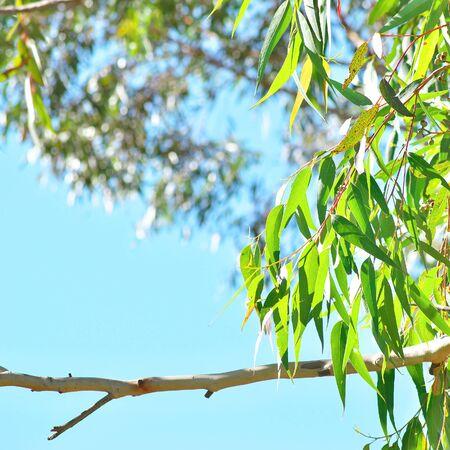 eucalyptus gum tree leaves against blue sky background
