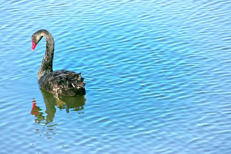 black swan Imagens