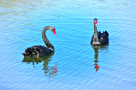 black swans Imagens