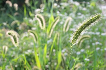 cluster of foxtail grass