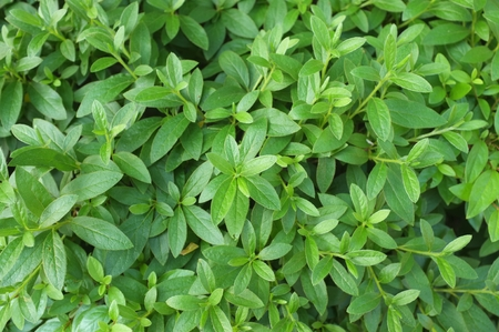 green leaves on a bush or shrub background