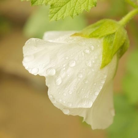 raindrops on white hibiscus flower