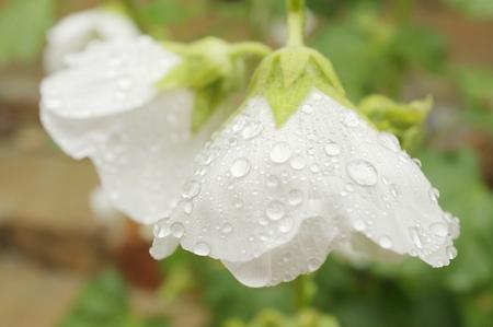 raindrops on white hibiscus flowers Imagens