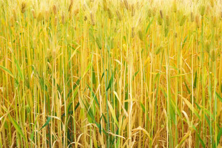barley head: barley growing in a field Stock Photo