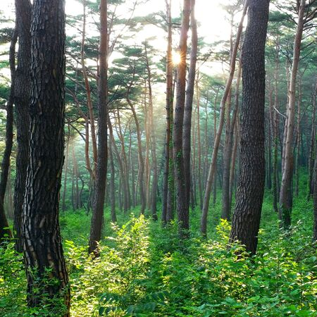 sunset in pine forest south korea