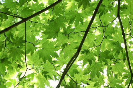 japanese maple leaf background