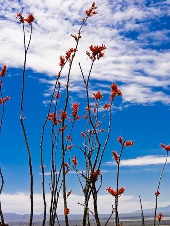 ocotillo: A colorful Ocotillo Cactus blooming in the Arizona desertO