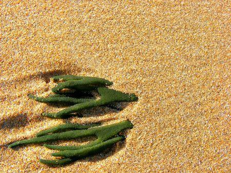alga: Green alga under the sand on a Cantabrian beach. Spain.