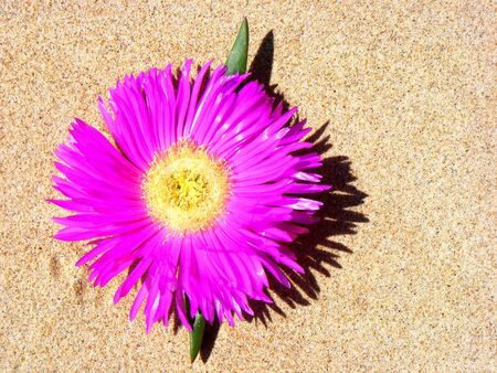 A big pink flower growing in the sand of Noja. Cantabria, Spain.