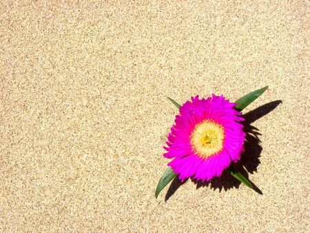 A pink flower growing in the sand of Noja. Cantabria, Spain.