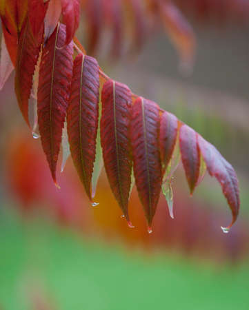 langosta: Locust leaf in fall with rain drops dripping