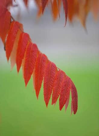 녹색 배경으로 가을에 빨간 로커스 잎