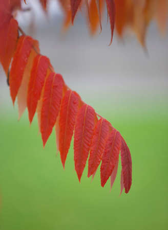 langosta: Red Locust leaf in fall with green background Foto de archivo