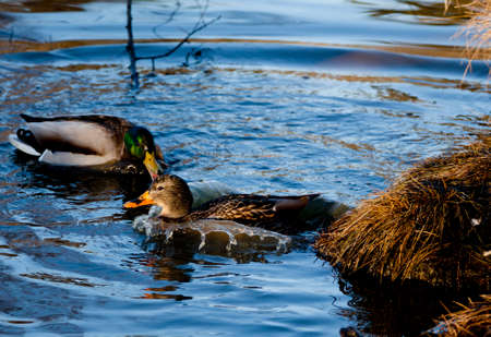 Duck entering water from nest, with water being displaced by its body and being givin love bites from other duck