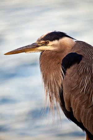 herodias: A Portrait of a heron close up