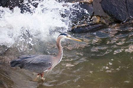 wing span: Heron looking for sardines in Stanley Park