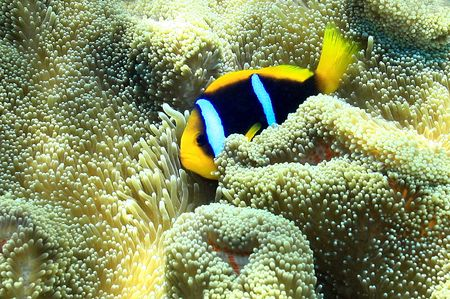 Below the drop off on the reef of Fiji lives a Clown Fish dancing on the belly of the Sea Anemone.