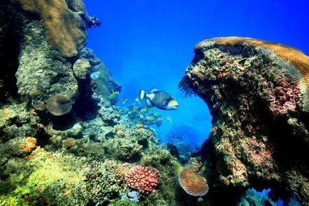 トリガー: 大規模なトリガーの魚の美しいサンゴと深い岩礁ポケットに庭でフィジー。