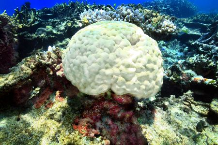 Coral head resting on the shallow reef of Fiji.