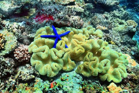 Blue Starfish nestled in a Sea Anemone in a beautiful sea garden in the waters of Fiji..