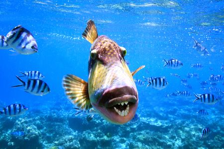 trigger: Large trigger fish showing off its Huge teeth in Fiji.
