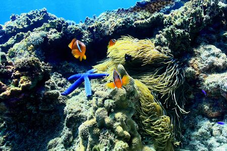 Family of Clown Fish surrounded by Blue Starfish on a beautiful reef garden in Fiji.