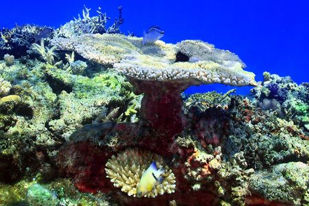 Large Coral head with fish swimming around the reef in Fiji.
