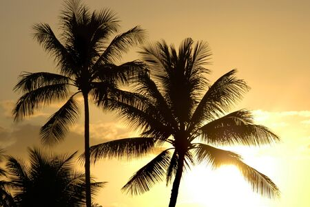 Palm trees blowing in the wind silhouetted by the late afternnon light in a Hawaiian Sunset.                                 Stock Photo