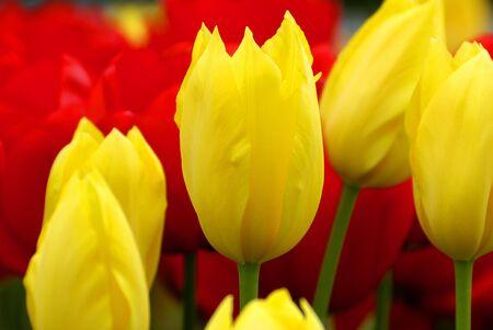 Letto di tulipani nelle Highlands meridionali dell'Australia.