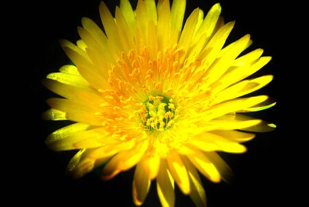 Micro image of a Yellow Daisey.