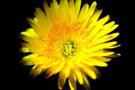 Micro immagine di un Daisey Giallo.