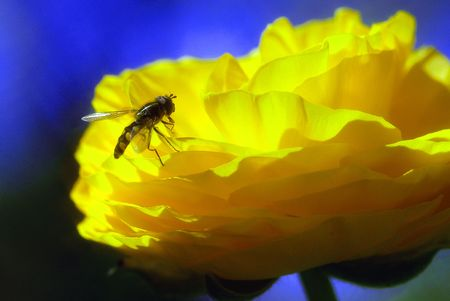 Un'ape macchiato di corrispondenza colori mimetici giallo in un fiore Papa Melilland. Archivio Fotografico