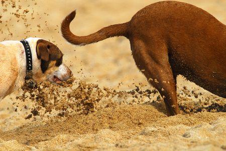 Due cani che giocano nella sabbia sulla spiaggia, un popolare nelle Hawaii. Archivio Fotografico