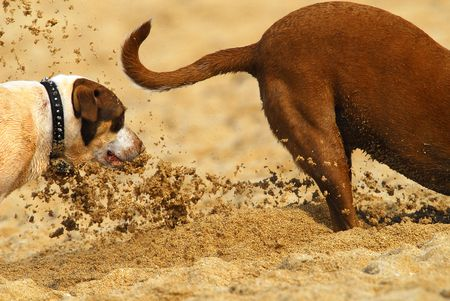 Two Dogs playing in the sand on the a popular beach in Hawaii.
