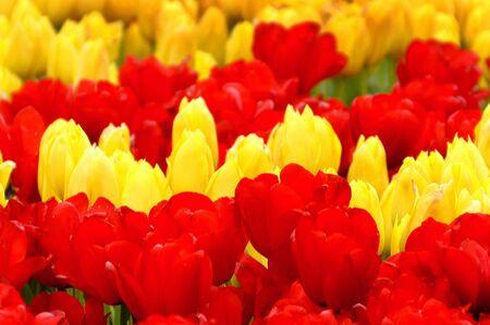 Rosso, giallo, rosso, tulipani in una riga in un bellissimo giardino.                                 Archivio Fotografico