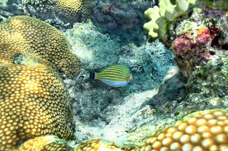 Tang fish swims around a beautiful tropical reef in Fiji.