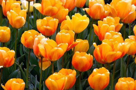 Un bel giardino di tulipani gialli di riposo insieme al sole del pomeriggio.