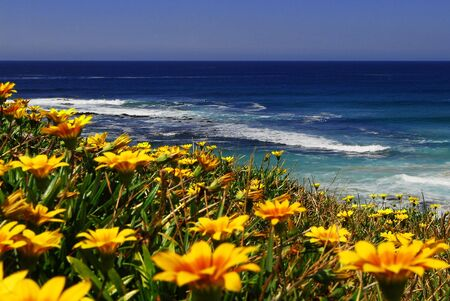 Yellow Wild flowers resting along the Sea Cliffs over looking the Ocean.