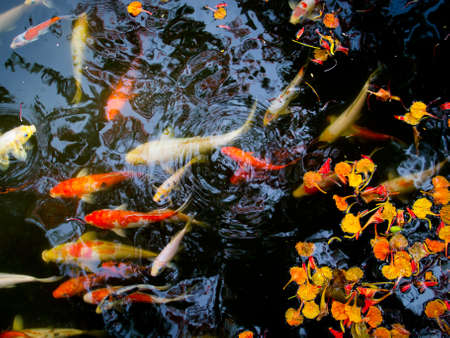 Koi in pond photo