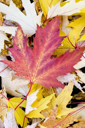 Fall maple leaf photo