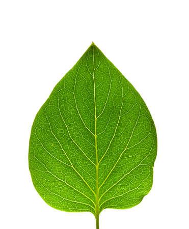 asymmetry: Read leaf with minor asymmetry