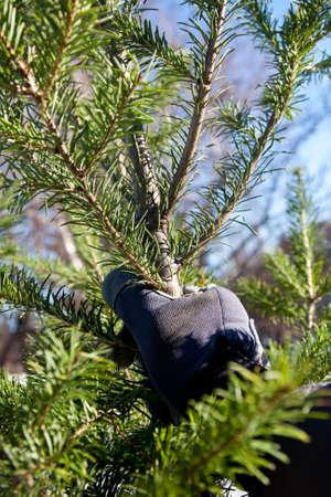 Picking Christmas tree Stok Fotoğraf