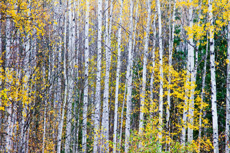 Birch trees photo